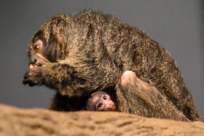 A baby white-face saki monkey was born Wednesday at the Cincinnati Zoo.