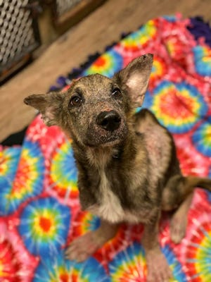 Young German shepherd Benji was found in Warren County Oct. 20, 2019 and turned in to the Kiya Koda Humane Society in Indianola. He was emaciated and had feet deformities and pressure sores from living in a small cage.