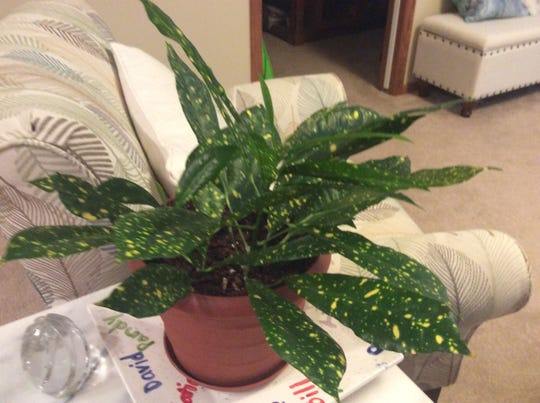 """Judy's """"polka dot"""" plant, which has made the move from outside to inside for the winter."""