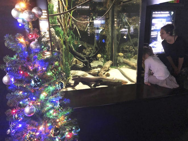 In this undated photo provided by the Tennessee Aquarium, an electric eel named Miguel Wattson lights up a Christmas tree at the Tennessee Aquarium in Chattanooga, Tenn. The aquarium says a system connected to Miguel's tank enables his shocks to power strands of lights on the nearby tree.