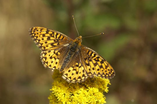 The breeding success provides new hope in effort to save Oregon silverspots.