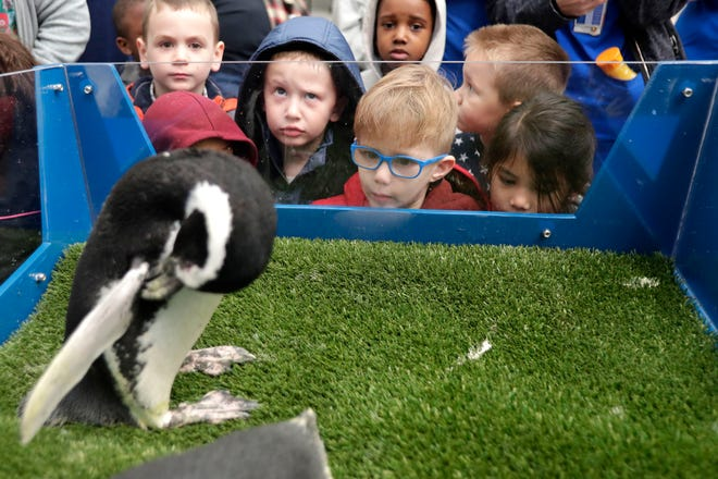 Children in childcare at Tallahassee Memorial HealthCare had the opportunity to see two live penguins in the hospital lobby.  Fred, a 21-year-old penguin from SeaWorld, cleans herself as children watch her.