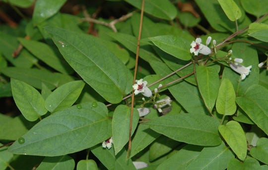 The invasive exotic, skunkvine, has small flowers and heart-shaped leaves.