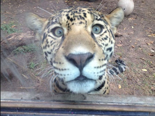 The Abilene Zoo announced on Thursday that the jaguar Estrella had died. She was diagnosed with a rare form of cancer in October.