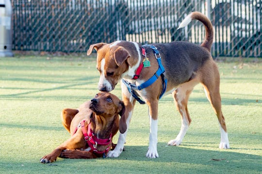 Hadley Mae sniffs Genavieve's head at they play in the yard at Brother Wolf Animal Rescue on Dec. 4, 2019. Hadley Mae was awaiting a dog meet to go to a new home and Genavieve is available for adoption through the rescue.