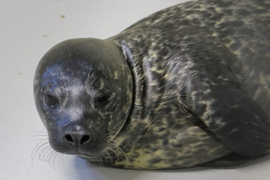 Lucy the seal pup, born Aug. 20 at Blank Park Zoo in Des Moines, died Thursday.
