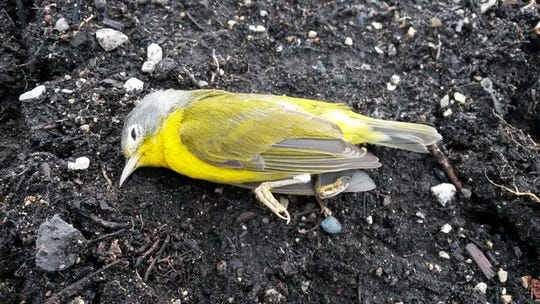 This Nashville Warbler is believed to have died after running into a local mid-rise housing development.