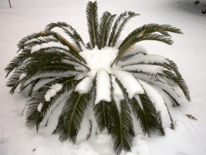 This shot of a sago palm is from a couple of years ago after a rare snow in South Carolina.