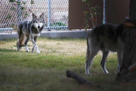 Polly, a 14-year-old Mexican wolf, walks about her exhibit at the El Paso Zoo's new Chihuahuan Desert exhibit Wednesday, Dec. 4, 2014, in El Paso.