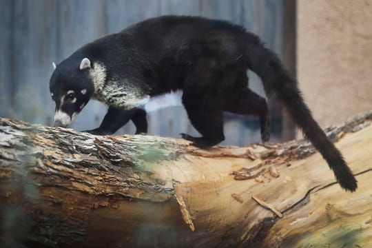 Ziggi, a male coati, walks around his exhibit at the El Paso Zoo's new Chihuahuan Desert exhibit Wednesday, Dec. 4, 2019, in El Paso.
