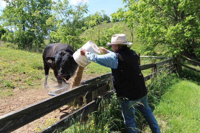 A new award from the Madison County Cooperative Extension Center seeks to honor a livestock farmer of the year award. Here, David Freeman of the Bull Creek community, feeds one of his prized Angus cattle in 2016.