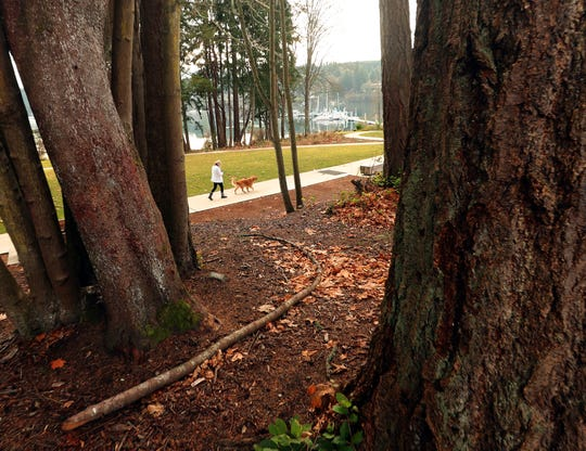 A large fallen limb lies on the ground among the tree trunks as a person walks a dog along the path at Bainbridge Island's Waterfront Park on Friday. An arborist has determined that 20 trees are high priority hazards and 32 are medium priority hazards, all of which will require removal or significant pruning in the next few months.