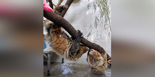 'Two-toed Moe' the sloth is missing from his habitat in Discovery Forest, but it's for a good reason: He's being introduced to his new girlfriend, Lightning.