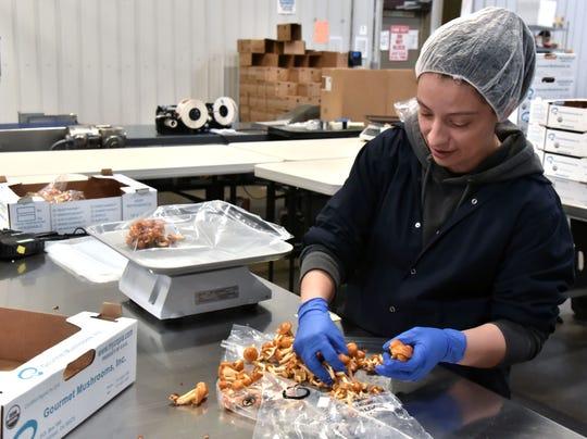 Erica Romero of Ludington packages Forest Nameko mushrooms for shipping.