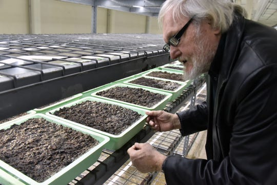 General manager Gary Mills inspects tiny morel mushroom shoots at the Mycopia Mushrooms plant.