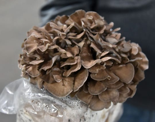 A Maitake Frondosa mushroom, aged about 50 days, is seen at the Mycopia Mushrooms plant in Scottville.