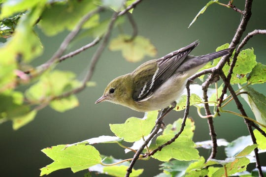 The side-by-side comparison capability of the Sibley app helped me separate this fall-plumaged blackpoll warbler from a very similar-looking fall bay-breasted warbler.