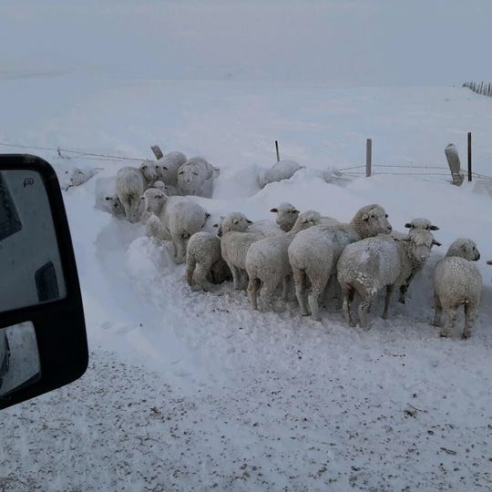Lisa Schmidt's good neighbor alerted her to sheep cornered  and stuck in a snow drift in time for her to save some of them, but not all.