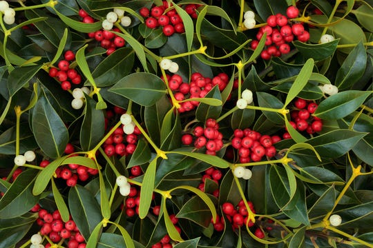 Winter berry holly and mistletoe background.