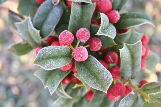 Green leaves and red berries of Holly tree.