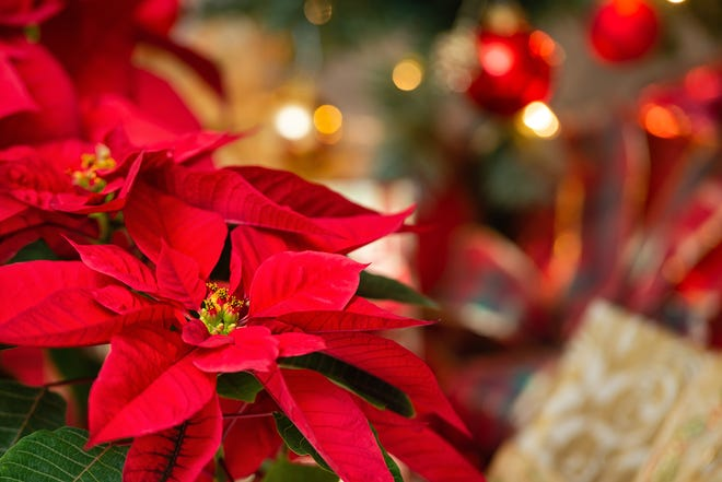 Red flowers on Poinsettia plant.