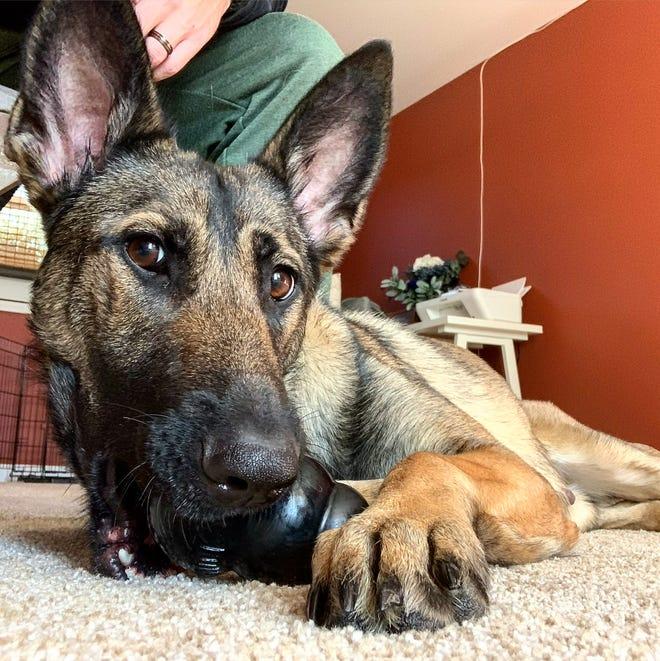 Stella, the Dickson Police Department's new drug-detection K9 officer.