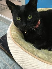 Rosita is an older cat waiting to be adopted at the Oshkosh Area Humane Society.