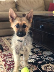 Ranger Mayo is nearly 2 1/2 years old but still looks like a puppy due to a rare condition called pituitary dwarfism.