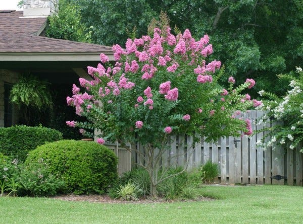The crepe myrtle is one of the most versatile landscaping choices in Texas, available as ground cover, shrubs or trees.