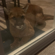 This mountain lion has recently been spotted numerous times near homes in northeast Simi Valley that abut open space in the foothills of the Santa Susana Mountains.