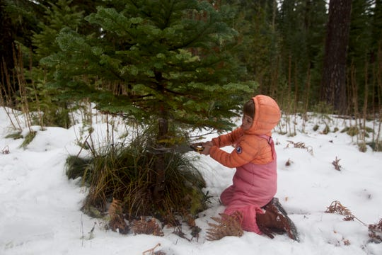 Lucy Urness, 5, sizes up a noble fir to bring home from the forest for Christmas.