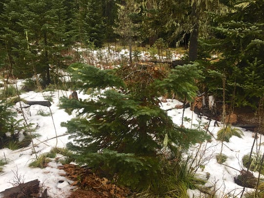 An illegally cut Christmas tree in Willamette National Forest. Visitors must cut the whole tree, not just half of it.