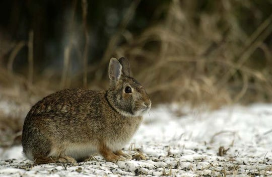 Michigan's mammal, bird, reptile and insect populations must find ways to survive outside during the winter months. This includes the cottontail rabbit.
