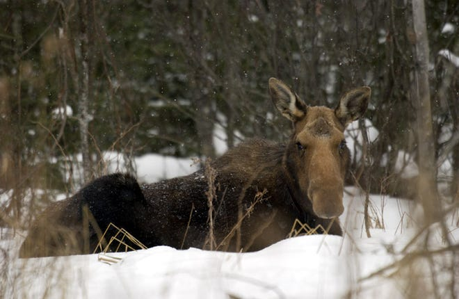 Moose are specially equipped to handle Michigan's winters. Their long legs help them get through deep snow.