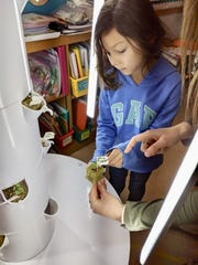 A student in Mrs. Lallensack's first-grade classroom at Monroe Elementary School in Manitowoc works on a classroom grow tower.