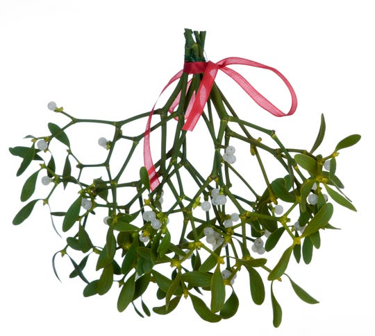 A hanging bunch of mistletoe on white background.