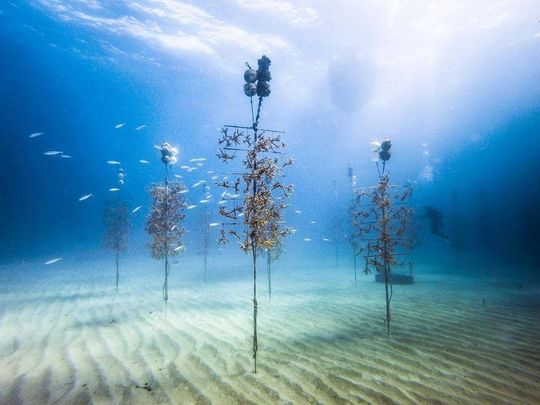 An ocean-based coral nursery operated by the Coral Restoration Foundation in Florida Keys National Marine Sanctuary. Species like staghorn coral (pictured) are grown in these nurseries and transplanted to reefs.