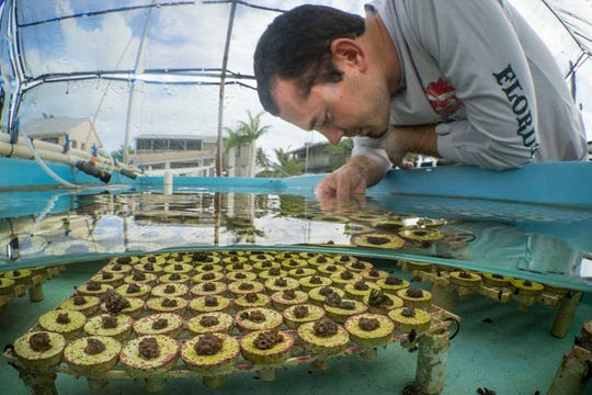 Project manager and marine biologist, Chris Page inspects fragments of mountainous star coral (Orbicella faveolata) that were microfragmented just a few weeks before. Mote Marine Laboratory on Summerland Key developed a micro-fragmentation and fusion method to speed the growth of crucial reef-building species.