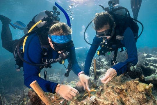Two divers work together to replant staghorn coral to a reef using epoxy. Marine epoxy is a frequently-used method for adhering nursery-grown corals to reefs. The restoration of Carysfort Reef (one of eight reef sites being fully restored by CRFª)  is being undertaken with support from Ocean Reef Club and Ocean Reef Conservation Association.