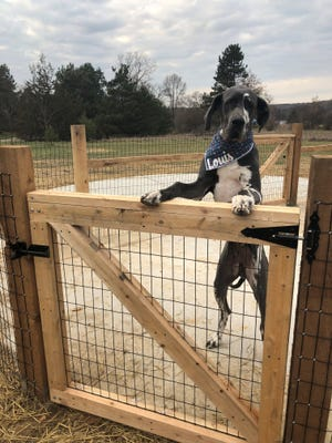 Louis Kobos, an 8-month-old Great Dane puppy, can't wait to get into the Milford Dog Park on Nov. 26, 2019. The park is now officially open.