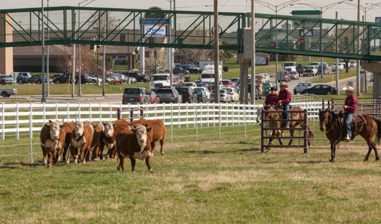 Driving cattle at the Darr Agricultural Center.