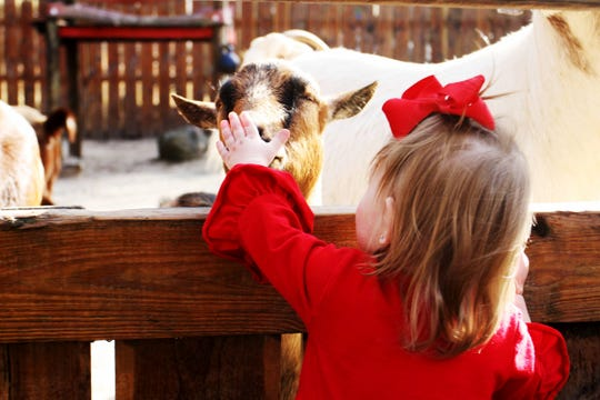Toddler Ellionna Knight pets a goat at Dickerson Park Zoo Nov. 30, 2019.