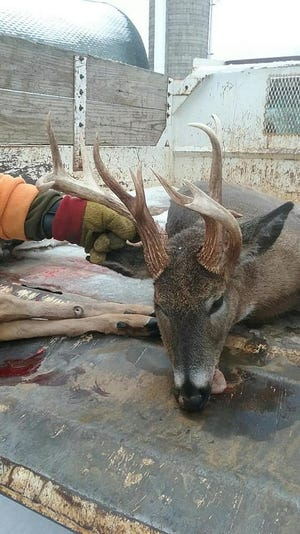 Michael Wanta, of Stevens Point, shot a rare 13-point doe Nov. 29 near Rosholt.