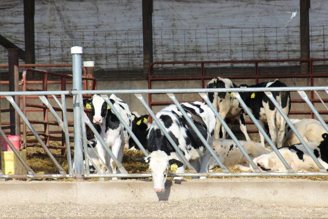 "Heifer survival rates is among The ""Six Dairy Financial Drivers,"" that account for 85% of the variation in farm profitability."