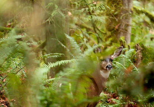 Ferns and underbrush of the forest provide camouflage for a deer near Brownsville on Tuesday, December 10, 2019.