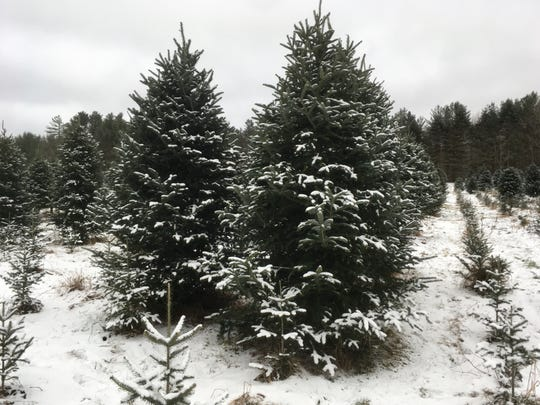 Christmas trees stand ready to be cut down at White's Tree Farm in Jericho on Nov. 29, 2019.