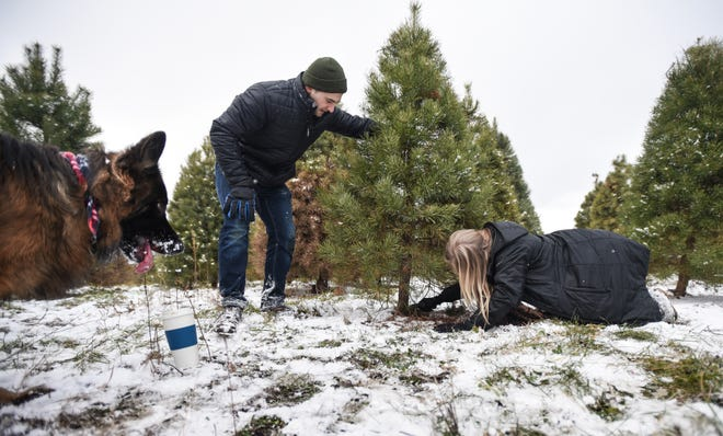 """KJ,"" a two-year-old German Shepherd waits patiently for another round of hide-and-seek with owner Susie Prince, right, of East Lansing, and boyfriend Dallas Oliver of Lansing as they cut down their Scotch pine Christmas tree, Tuesday afternoon, Dec. 10, 2019, at Tannenbaum Farms in Alaiedon Township."