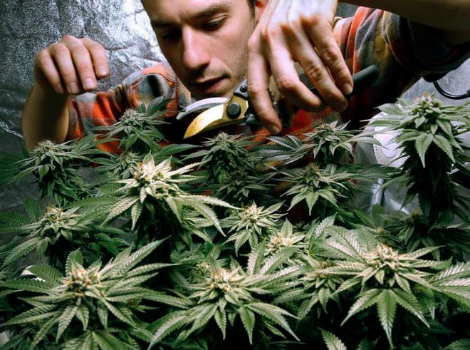 James MacWilliams prunes a marijuana plant that he is growing indoors in Portland, Maine. Photo By Robert F. Bukaty