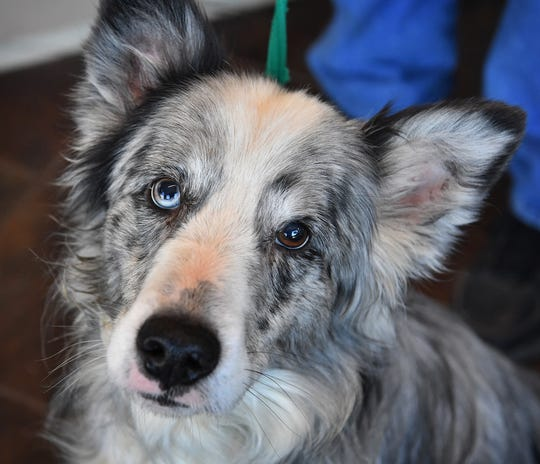Gus is a five-year old, gray, black and white, Australian Shepherd mix. He is neitwered, vaccinated and microchipped. Gus is smart, friendly and is available for adoption at the Humane Society of Wichita County.