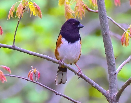 The Eastern towhee is one many bird species found in the mountains.